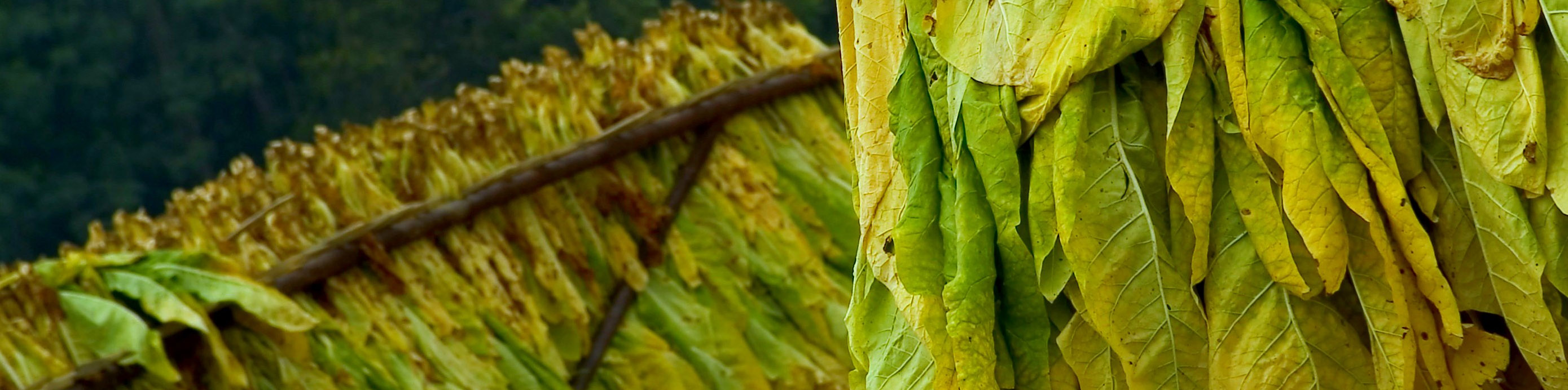 Tobacco leaves hanging in a barn to dry.